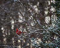 Lone male red cardinal after a light snow. Images taken with a Nikon D700 camera and 80-400 mm VR lens (ISO 1600, 400 mm, f/5.6, 1/250 sec)