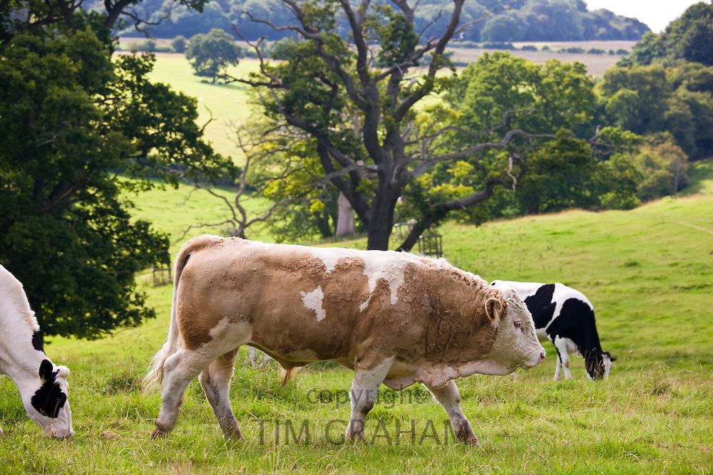 Bull with cows pastoral scene in meadow in The Cotswolds, Gloucestershire, England, UK