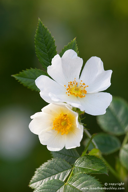 Wild Field Rose. Rosa arvensis.
