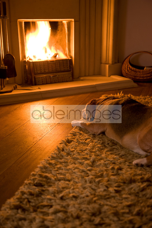 Beagle lying in front of a fire