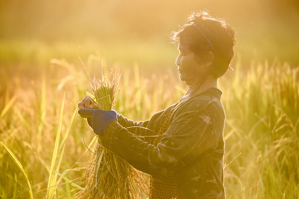 Nom, a Thai woman working during the Green Rice Harvest, in Nakhon Nayok, Thailand