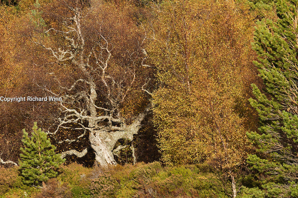 A dead tree from across the valley, as it sits amongst the developing autumn colours.