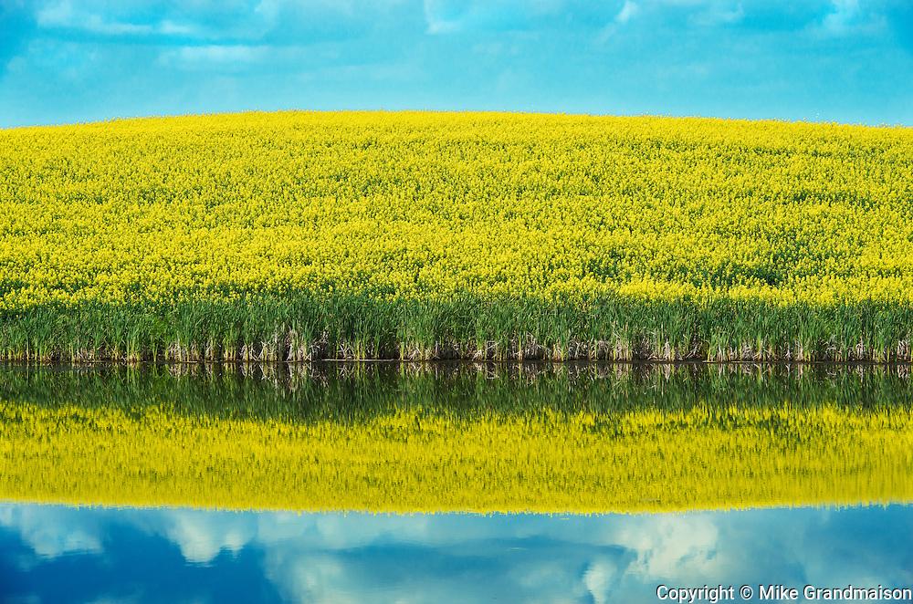 Canola reflected in wetland<br /> Wynyard<br /> Saskatchewan<br /> Canada