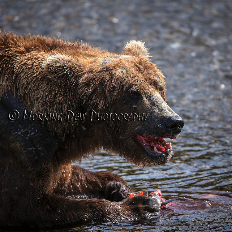A male brown bear enjoys a meal of salmon at Brooks Falls.