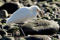 Snowy Egret (Egretta thula) Eating Fish at Surfrider Beach, Malibu, California