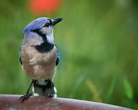 Blue Jay. Image taken with a Nikon D5 camera and 600 mm f/4 VR lens (ISO 1600, 600 mm, f/5.6, 1/500 sec)