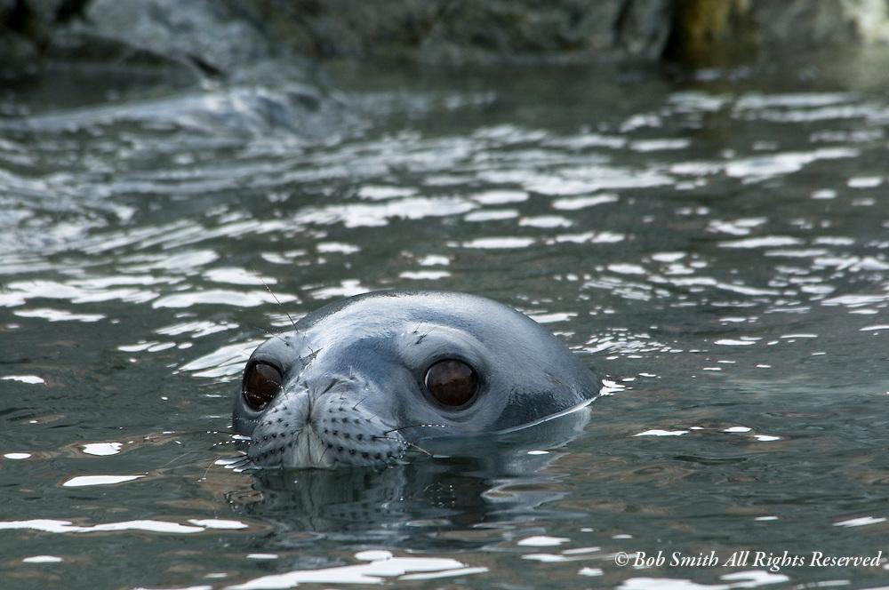 Weddell seal in water on Heroine Island, Antarctica 20090121 (Leptonychotes weddellii)