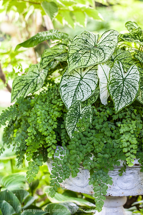 A white urn planted with green and white variegated Caladiums and maidenhair ferns.