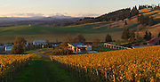 Saffron Fields Vineyards golden autumn sunset, Yamhill - Carlton AVA, Willamette Valley, Oregon