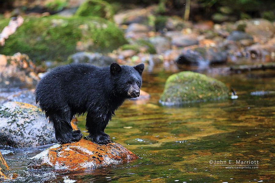 Black bear cub in the Great Bear Rainforest, BC, Canada
