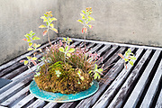 bonsai style various grasses plant