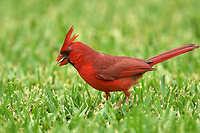 Male Northern Cardinal searching for seed fallen from feeder Wellington Florida USA