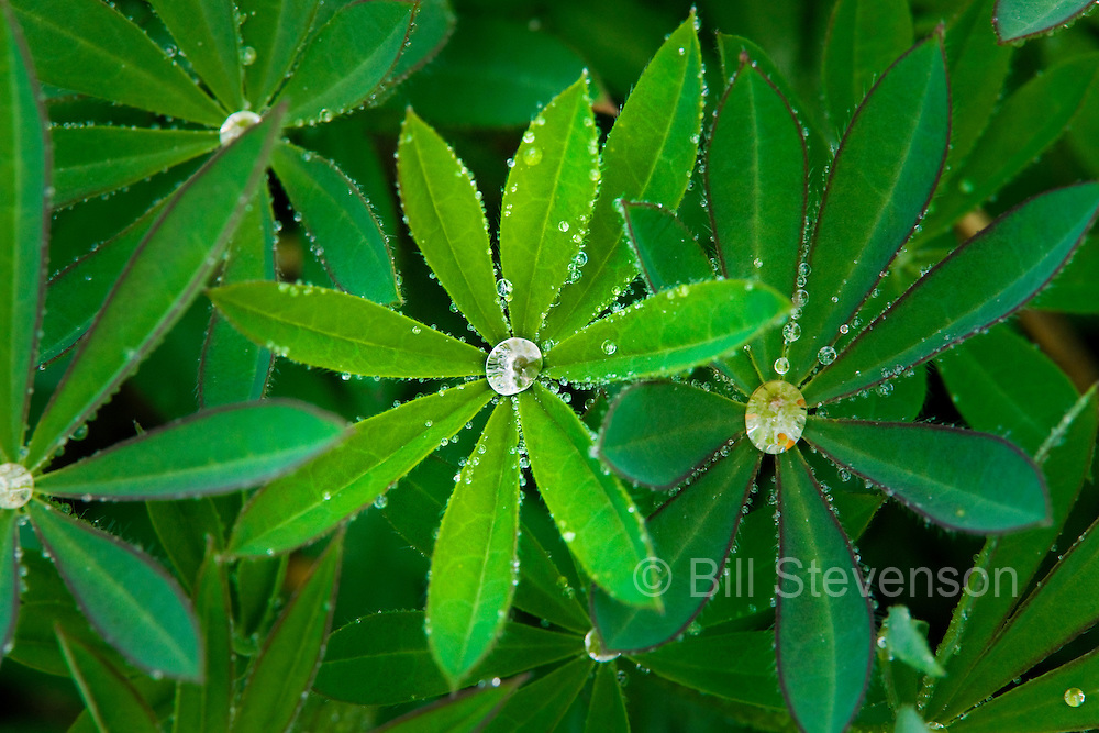 A photo of water drops on a lupine after a spring rain.