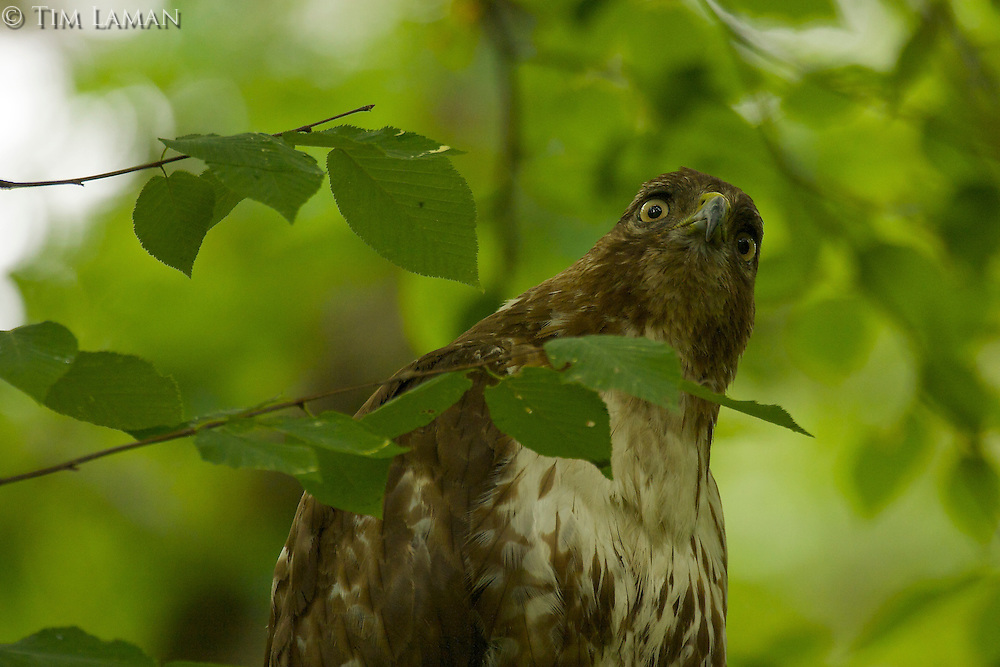 """Young Red-tailed Hawk"".Spring views at Walden Pond.  Juvenile Red-tailed Hawk (Buteo jamaicensis)"