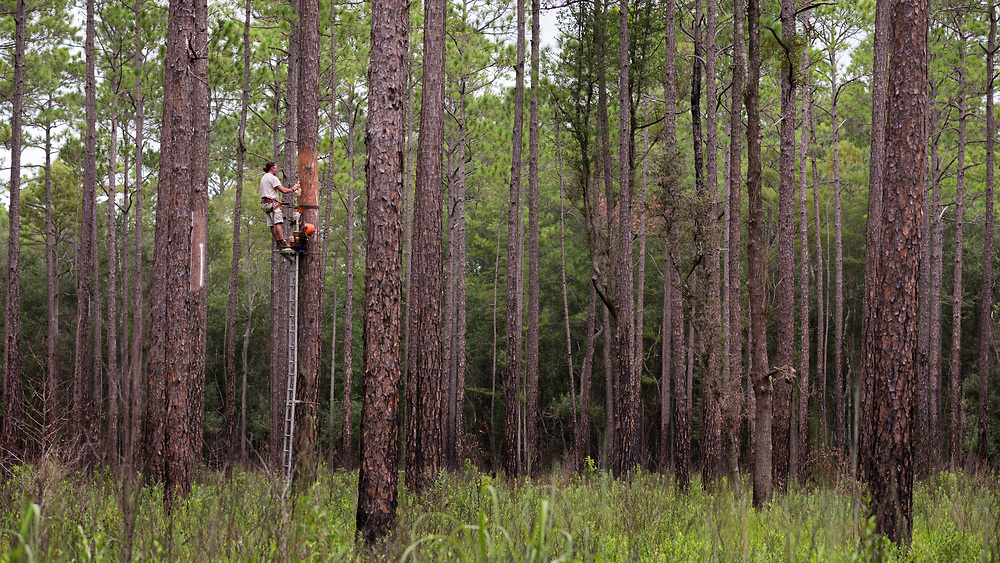 FORT STEWART, GA - AUG., 28, 2019: Wildlife Biologists from the Fort Stewart Fish & Game branch use nets to tag red-cockaded woodpecker in a cluster of the endangered birds in Ft. Stewart, Ga. (WABE Photo by Stephen B. Morton)