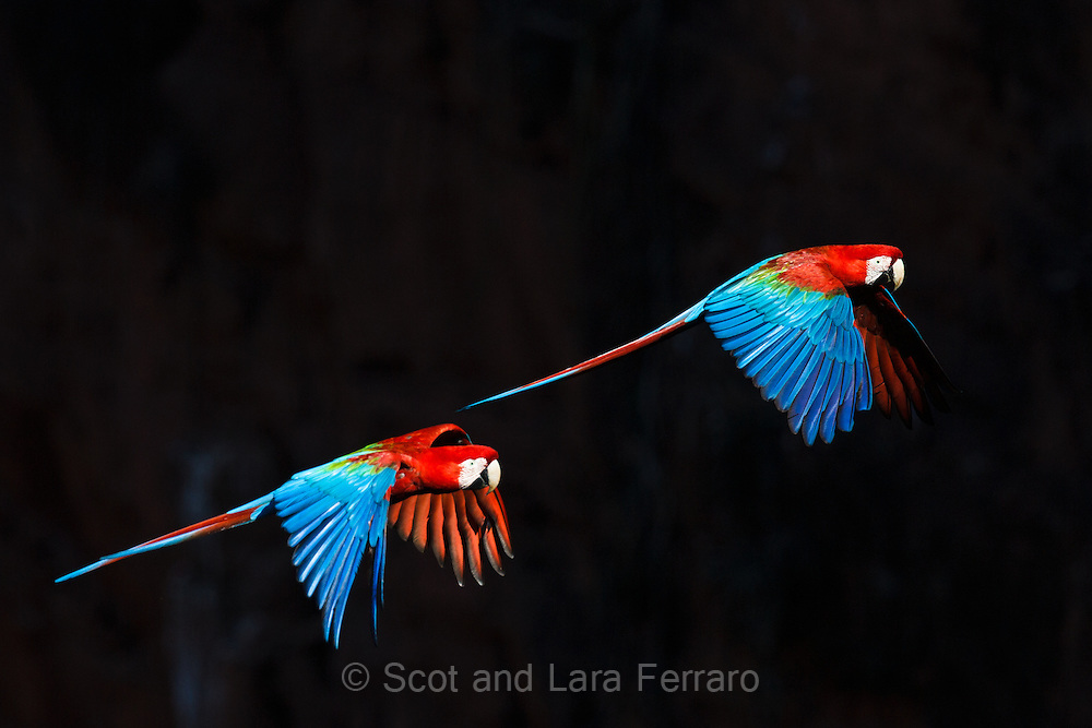 Two green wing macaws fly in the sunlight against the shadowed wall of a sinkhole called Buraco das Araras (Hole of Macaws).