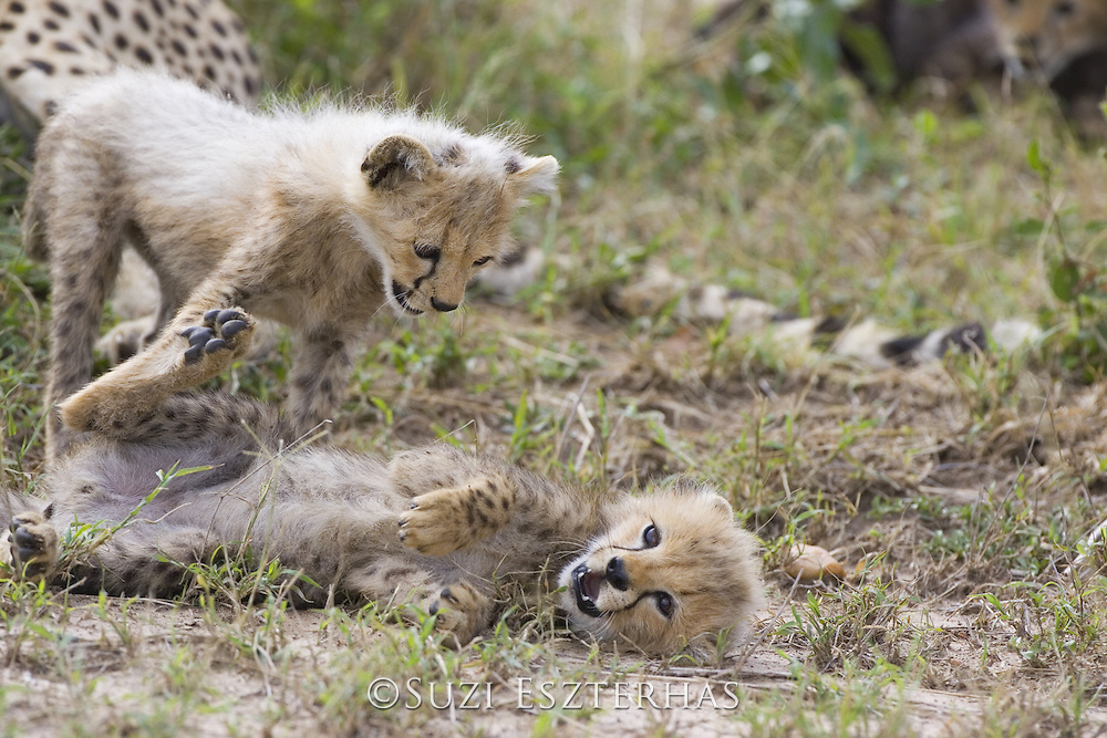 Cheetah<br /> Acinonyx jubatus<br /> 8 week old cub(s) playing<br /> Maasai Mara Reserve, Kenya