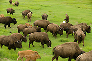 A rancher feeds his herd of buffalo near Palmer, Alaska.
