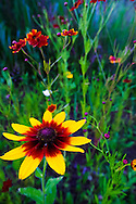 Colorful summer wildflowers in a Maryland garden. WATERMARKS WILL NOT APPEAR ON PRINTS OR LICENSED IMAGES.