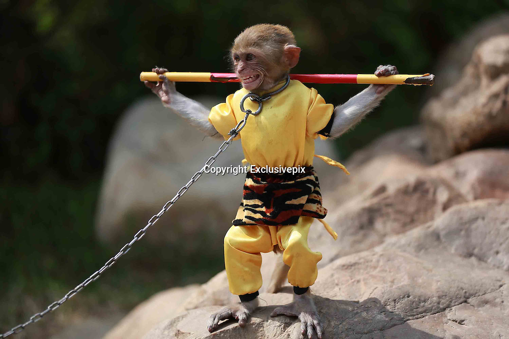 SHENYANG, CHINA - MAY 10: (CHINA OUT) <br /> <br /> Monkey King In Shenyang<br /> <br /> A monkey is dressed up as Monkey King at a park on May 10, 2014 in Shenyang, Liaoning Province of China. The Monkey King, also known as Sun Wukong, is a main character in the Chinese classical novel Journey to the West. People need to pay 20 yuan (3.2 USD) to have a photo with it. <br /> &copy;Exclusivepix