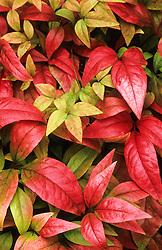Autumn colouring of Nandina domestica 'Firepower'