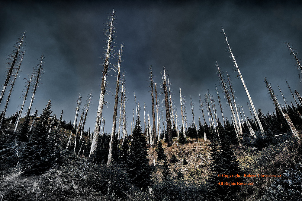 Trees of Mount Saint Helens (B&W&C): A stand of dead and barren trees dominate the stark landscape, the result of the 1980 catastrophic volcanic explosion, Mount Saint Helens, Washington USA.