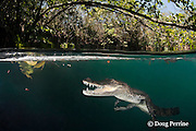 Morelet's crocodile, Central American crocodile, or Belize crocodile, Crocodylus moreletii,  makes open-mouth threat display toward photographer in cenote, or freshwater spring, near Tulum, Yucatan Peninsula, Mexico