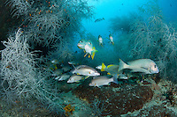 Sweetlips and Snappers congregate amongst black coral trees..Shot in Indonesia..
