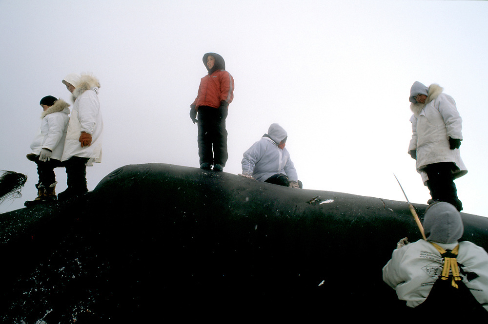Barrow, Alaska, a native alaskan whaling crew prepare to harvest the carcass of abowhead whale after a successful hunt
