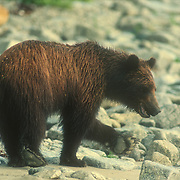 """Young brown bear (Ursos arctos) foraging for food on the beach at Point Hayes, Chichagof Island, Southeast Alaska, USA<br /> <br /> This was a young brown bear that I encountered quite frequently at my regular camp at Point Hayes on Chichagof Island. It was often foraging on the beach for food while I was cooking on my campfire, but it would always make a wide detour around me before continuing along the beach. I always had to be on my guard against bears getting into my food, especially black bears. I usually hung all of my food high up in the trees. On one occasion I arrived at a camp too late and I just covered everything up with a tarp. I disturbed a large bear that visited my camp in the night and could feel it's heavy weight vibrating the ground when it was running. In the morning I discovered that it had """"sucked"""" all of my bananas and pears through a mesh bag that I stored them in and I eventually found my large empty jar of peanut butter cracked open like an egg and licked spotlessly clean.<br /> This bear was well behaved but on one occasion it walked right up to my tent in the forest, and sniffed the air while looking up at my food hanging in the trees. I had cut open a lemon and the pungent smell was just too much for the curiosity of the bear. I talked to it in a calm, gentle voice, as I had learned to do: I had even made a bear fall asleep once while I was setting up my tripod to photograph it. I didn't want to startle the bear too much so I just bent down slowly, picked up a small stick, and tossed it so that it hit the bear on the nose, upon which it promptly ran away."""