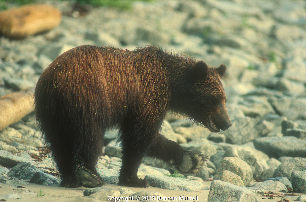 Young brown bear (Ursos arctos) foraging for food on the beach at Point Hayes, Chichagof Island, Southeast Alaska, USA<br />