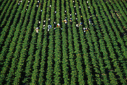 Migrant farmers work the fields in Northeast Louisiana near the Mississippi River, Louisiana, American South