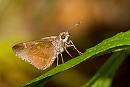 Clouded Skipper - Hodges#3998 (Lerema accius)<br /> United States: Alabama: Tuscaloosa Co.<br /> Tulip Tree Springs off Echola Rd.; Elrod<br /> 2-Jul-2017<br /> J.C. Abbott #2964