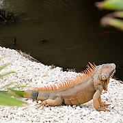 Iguana. Cozumel, Mexico.