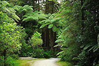 Richard Furhoff 100101_NewZealand_DSC3587.tif.Pathway through Redwoods forest, near Rotorua..