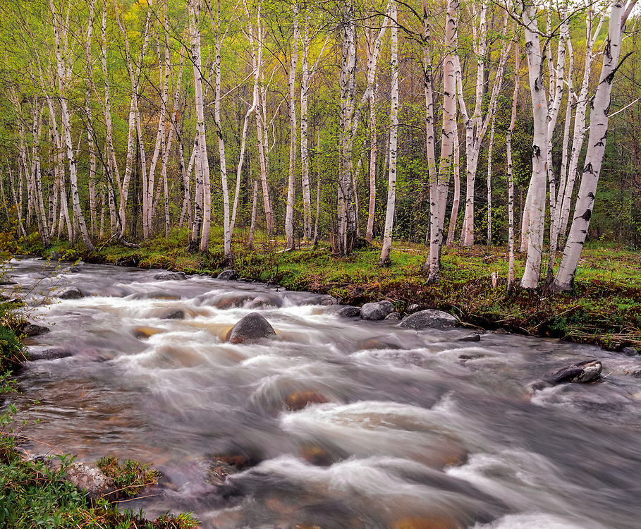 Stand of birches in spring greens, along Bear River, Grafton Notch State Park, ME