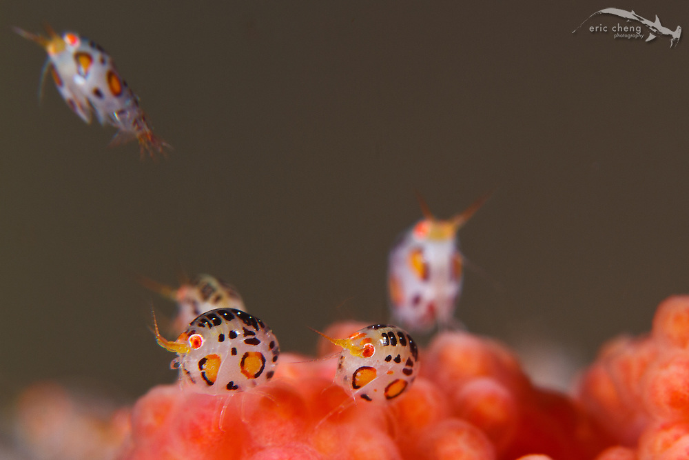 Ladybug amphipods in the Cyproideidae family sit on a colorful soft coral. Yellow Wall, Nusa Kode, Rinca, Komodo National Park, Indonesia.