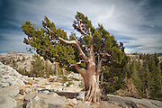 A Jeffrey Pine in the high country of Yosemite National Park