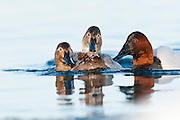 Canvasbacks, Aythya valisineria, feeding on Quagga mussles, Dreissena rostriformis bugensis, St. Clair River, Michigan