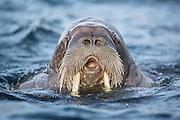 Walrus in the sea at Spitsbergen | Hvalros i sjøen på Svalbard, Phippsøya.