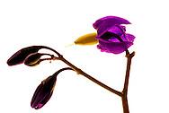 fleur de Morelle douce-amère (Solanacées), N.L.: Solanum dulcamara