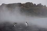 Chinstrap penguins in the steam of the volcanics that are still warming the beach sand at Whaler's Bay on Deception Island, off the Antarctic Peninsula. Deception Island is the site of a circular flooded volcanic caldera. On the shore are rusting remains of Whaling operations (1911 to 1931) and the ruins of a WWII British base, Port Foster (1944-1967). Evacuated after a volcanic eruption, then closed permanently in 1969 after another eruption..