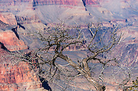 United States, Arizona, Grand Canyon. View from Yaki Point. An old, grey tree.