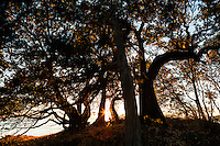 Tree silhouettes at sunset on a hill on San Juan Island, County Park, Washington, overlooking the Haro Strait.