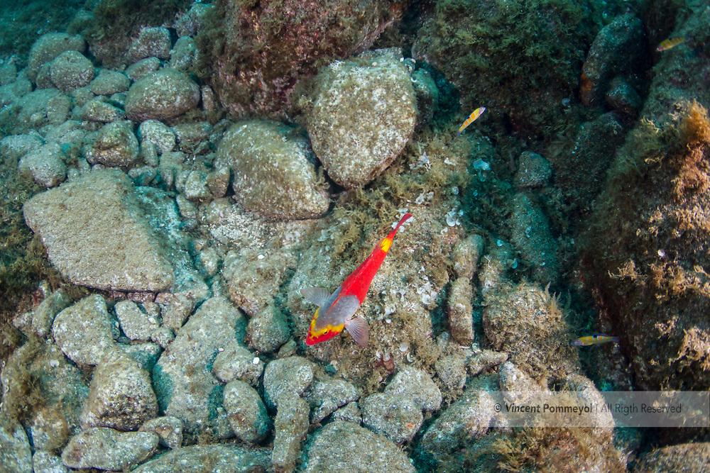 Mediterranean parrot fish-Poisson perroquet méditerranéen (Sparisoma cretense) Pico Island, Azores Archipelago.
