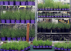 © under license to London News Pictures. LONDON, UK  19/05/2011.Pots of Lavender wait to be planted. Exhibitors ready their displays today (19 May 2011) ahead of The Chelsea Flower show in London. Every year the grounds of the Royal Hospital, London, are transformed into show gardens, inspirational small gardens and vibrant horticultural displays that make up the world's most famous flower show which runs from 24 May 2011 to 28 May 2011. Photo credit should read Stephen Simpson/LNP.