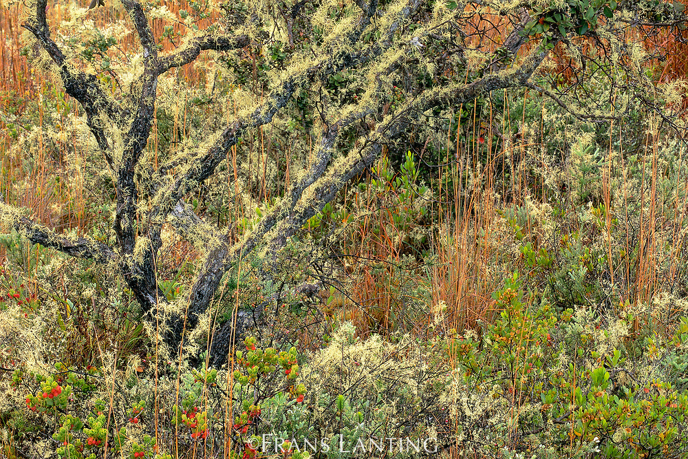Lichens in scrub forest, Hawaii Volcanoes National Park, Hawaii
