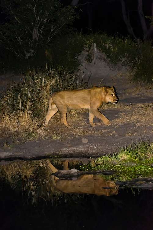 Female lion and her reflection in a pond at night, Linyanti Marshes, Botswana.