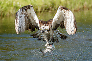 Osprey flies up from pond after capturing a fish, gripping the fish with both feet and aligning it with the flight direction, © 2015 David A. Ponton