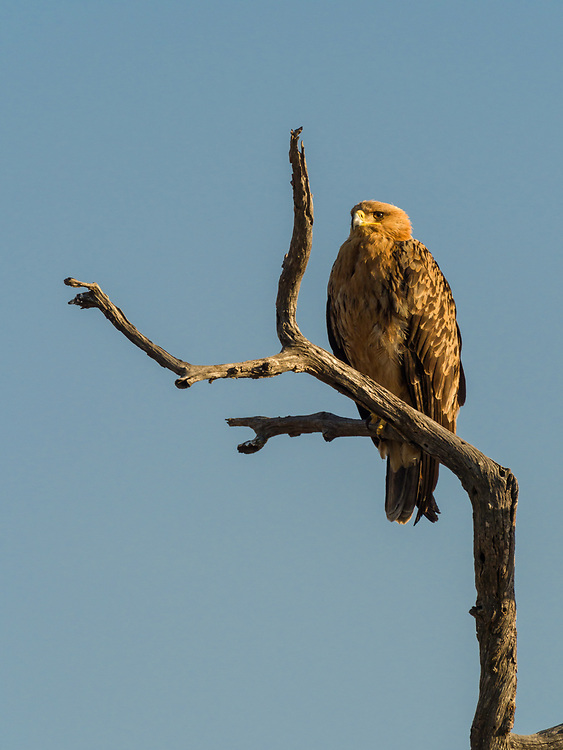 Tawny eagle in Kruger NP, South Africa.